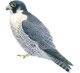 Immagine Falco peregrinus